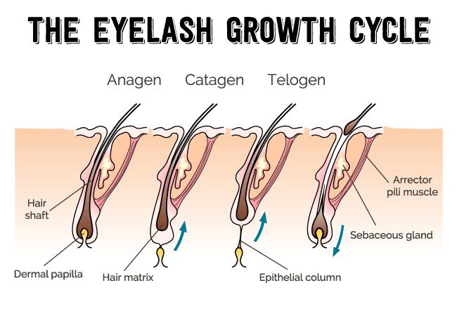 Eyelash growth cycle steps