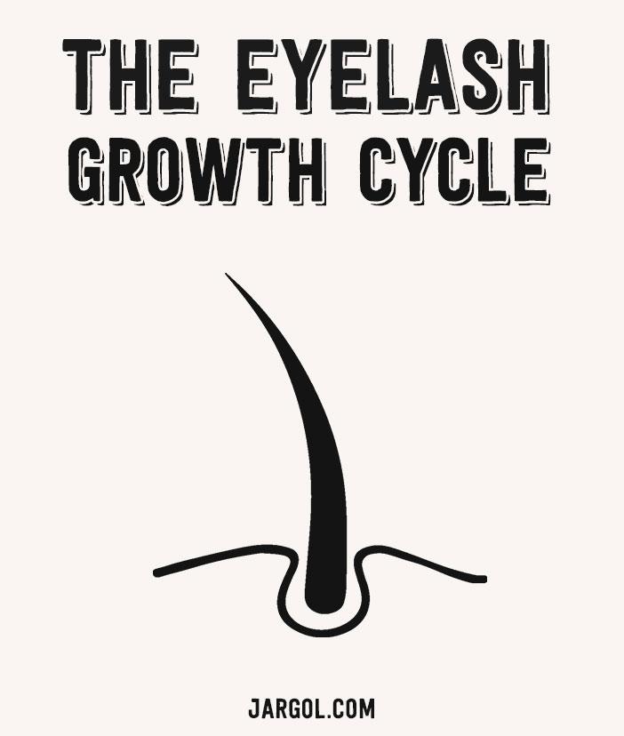 The eyelash growth cycle